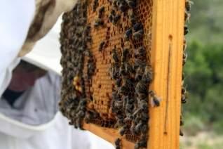 Acercándose y personal con las abejas en Cataluña