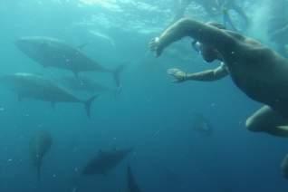 Nadar con atún rojo en una granja de atún sostenibl