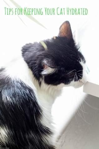 Consejos para mantener a tu gato hidratado