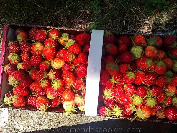 canasta de fresas frescas recogidas